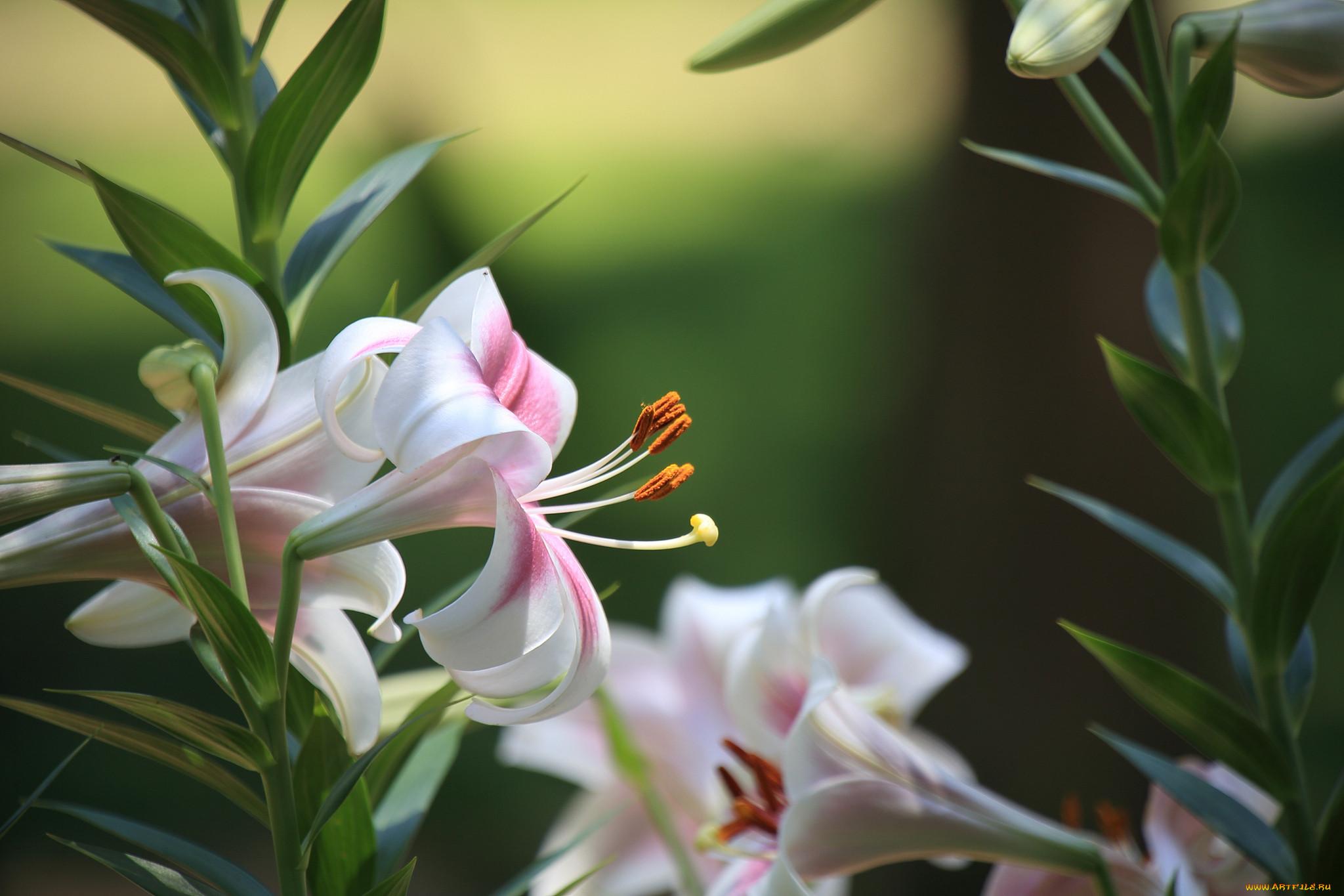 последних приносят ветка белой лилии фото является очень